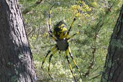 Yellow Garden Spider - This very realistic spider hangs on cable web-strands in the University of California Botanical Gardens.  A member of the UCBG bought and donated this piece after being impressed with it while it hung in between two trees during a Benefical Bug show at the Gardens in 2008. 4 feet L