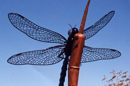 Giant Dragonfly - This deep metallic blue dragonfly is perched 15' in the air on a rusted cat-tail bending as if from the sheer weight of such a giant winged beast.  It was originally installed at Green Jeans Nursery, but has since moved twice and now resides in San Raphael. 5'L x 7'W wingspam
