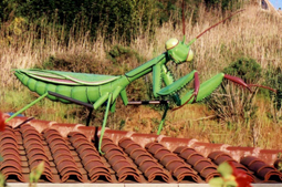 Giant Praying Mantis 2 - Closer view of  Mantis on the roof of Green Jeans. 124