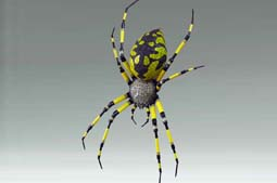 Yellow Garden Spider -  4 x 3
